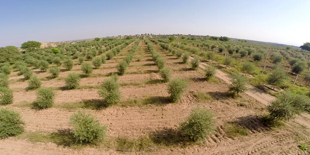 Olives Plantation in Kallar Kahar Farms